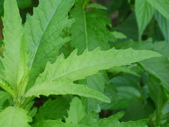 A erva-de-santa-maria (Chenopodium ambrosioides L.) – também conhecida como ambrósia, quenopódio, erva-pomba-rola, erva-formigueira, chá-do-méxico, mastruço, mastruz, erva-mata-pulga e uzaidela – é adstringe