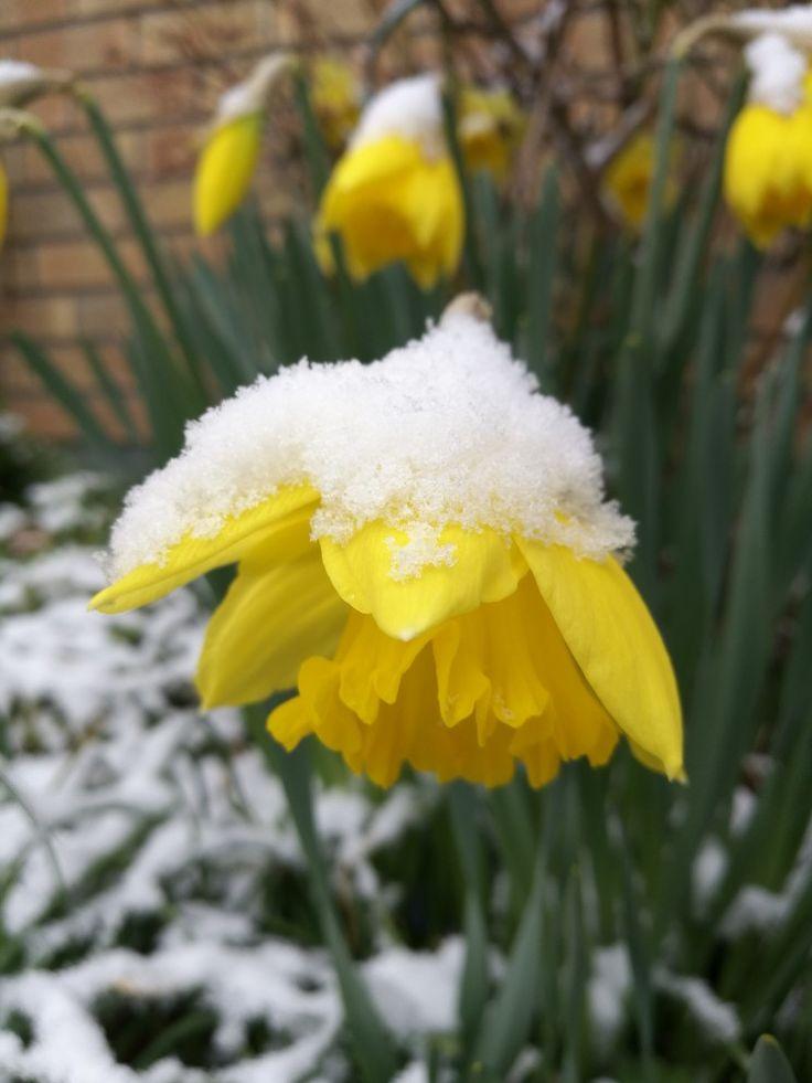 Daffodil in April