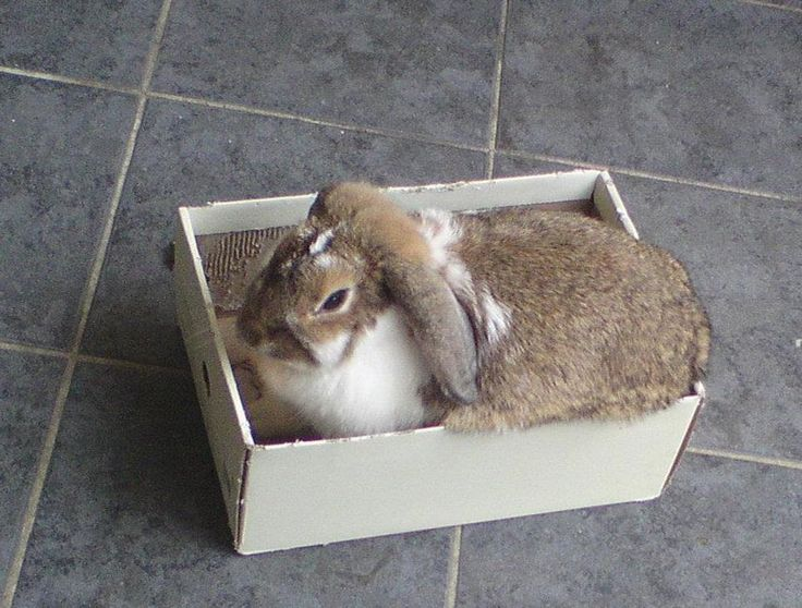 Floppy our beautiful mini lop playing like a baby