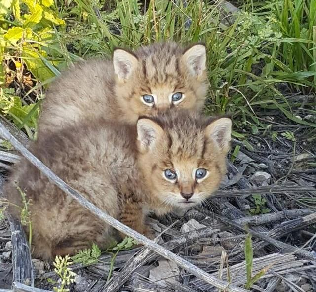 These jungle cat kittens were found on a dirt road and their rescue is truly  incredible!
