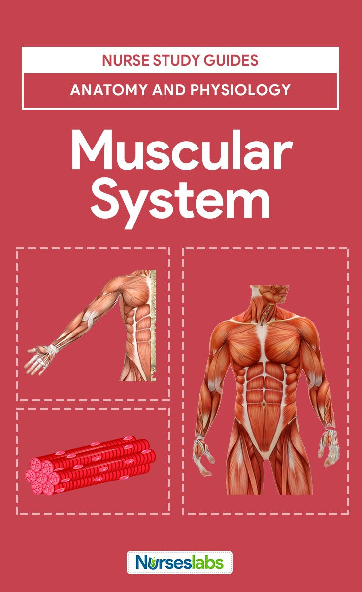 The 25 Best Muscular System Functions Ideas On Pinterest