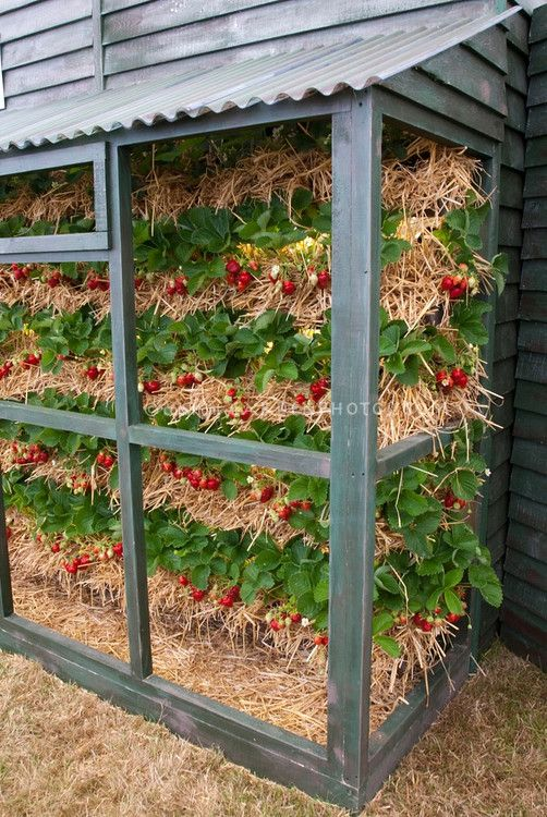 Strawberries-Growing-Vertically ... interesting way to use straw bales!