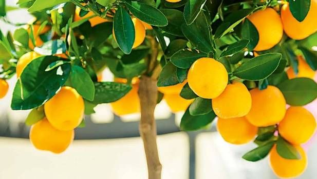 How to grow fruit at home with little to no garden...      Dwarf fruit trees make fruit-growing at home possiblefor those with small gardens, urban courtyards and even apartment balconies.Here are your options...
