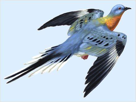passenger pigeon. Extinct in 1914, when the last female died.