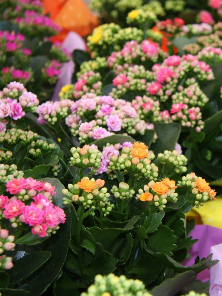 La kalanchoe è una pianta grassa dalle foglie lobate verde intenso e fiori di tanti colori vivaci: giallo, arancio, rosso, rosa chiaro, fucsia e bianco.