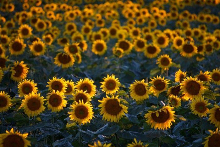 2. Eau Claire Sunflower Strip