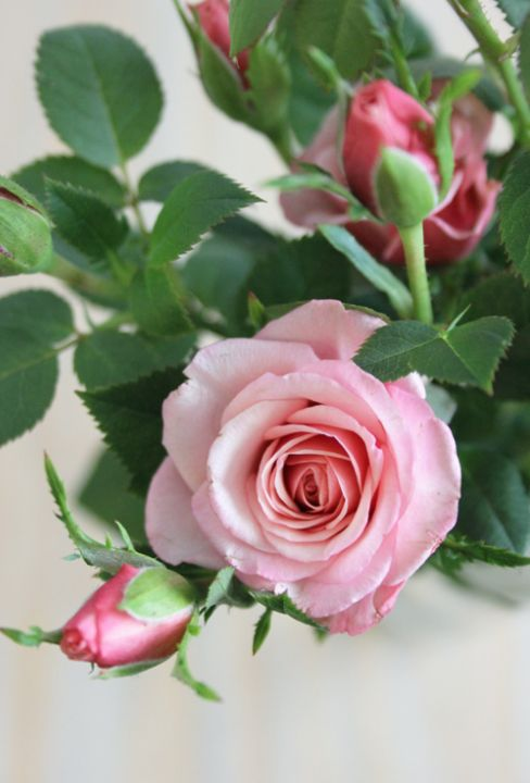 Roses - Such a beautiful pink rose. Pinning #flowers is almost as good as walking through the #garden and seeing it for myself. Miss the fragrance but so beautiful.