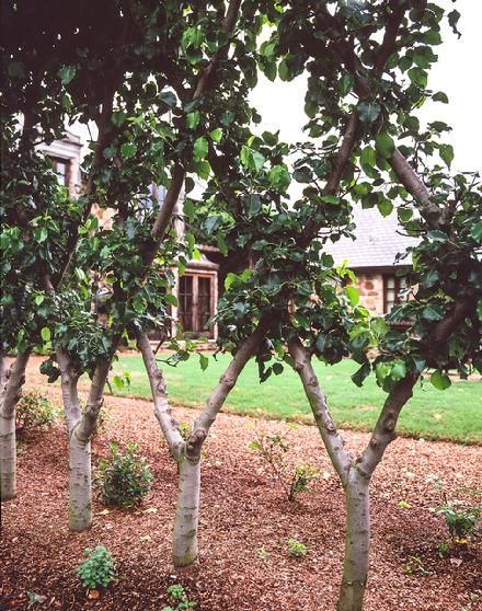 River Road Farms.: Apples Trees, Fence Ideas, Espalier Ideas, Espalier Trees, Side Yard, Belgian Fence, Front Yard, Fruit Trees, Espalier Fruit