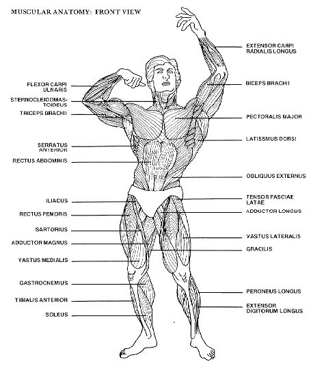 7 Muscle Chart Templates to Free Download Sample Templates
