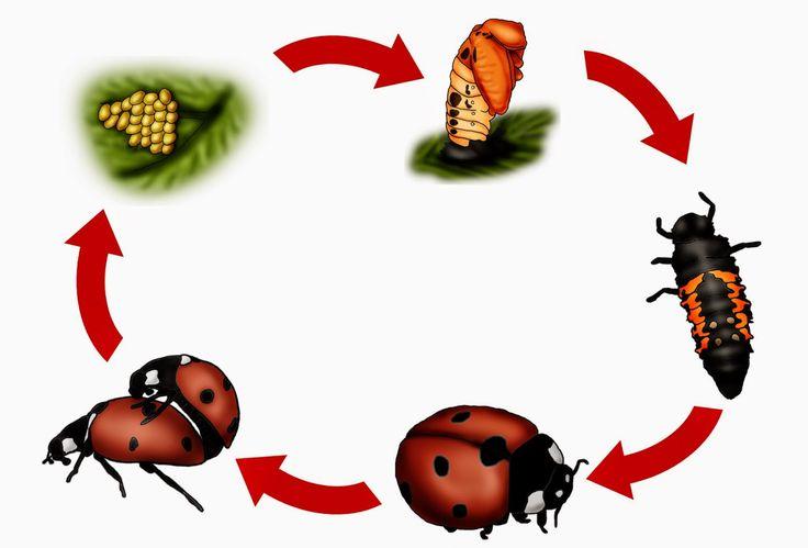 krabbelwiese: Tafelmaterial für die Lebenszyklen Marienkäfer Insekten Metamorphose