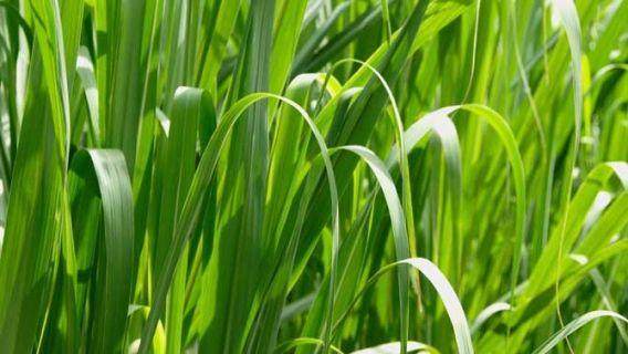 Pour un beau gazon fourni, suivez nos conseils de semences et d'entretien : arrosage, tonte, mauvaises herbes, faites les bons gestes pour votre pelouse!