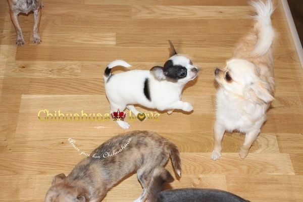 Chihuahuas Love - Saber de la Raza Chihuahua. Consultas Sobre La Raza Chihuahua.