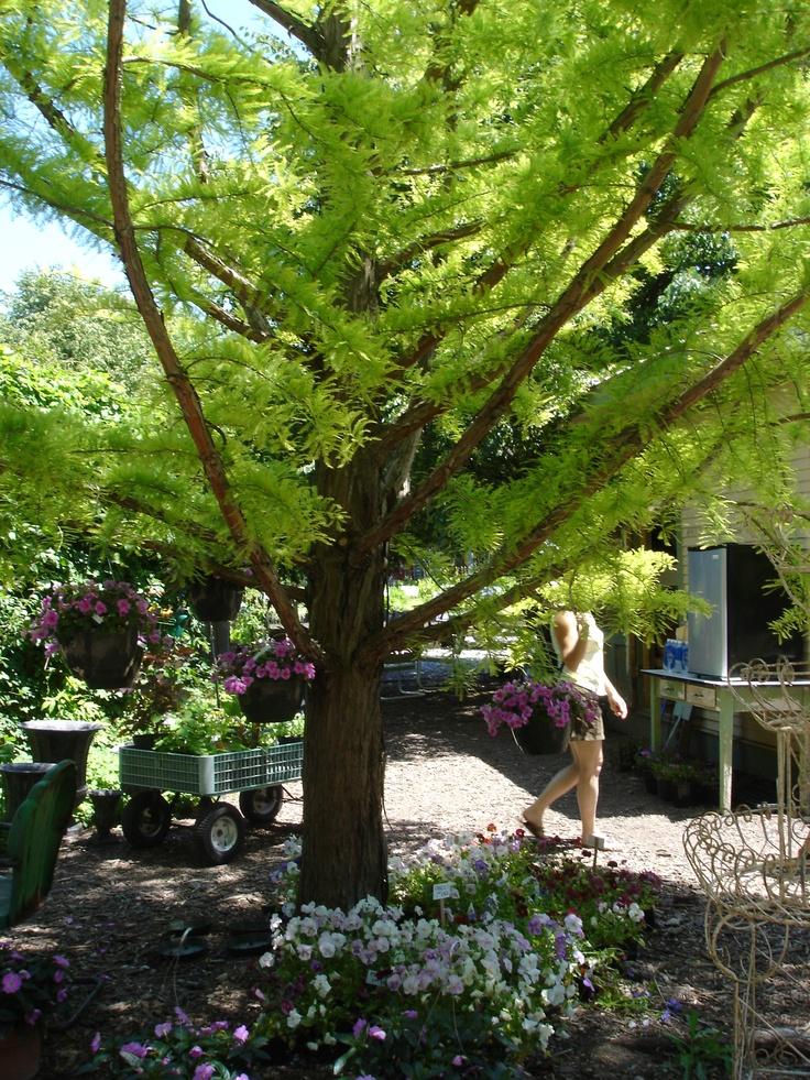 73 best best trees for alabama images on pinterest