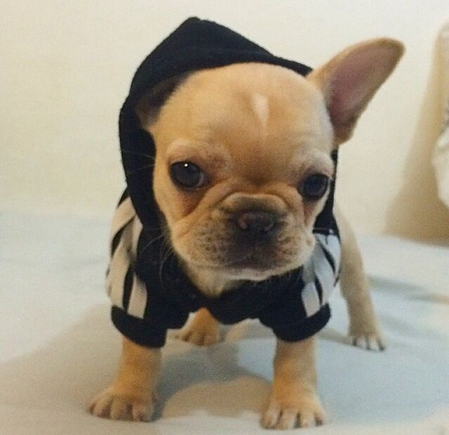 french bulldog onesie 25 best ideas about dogs in clothes on pinterest dog 4119