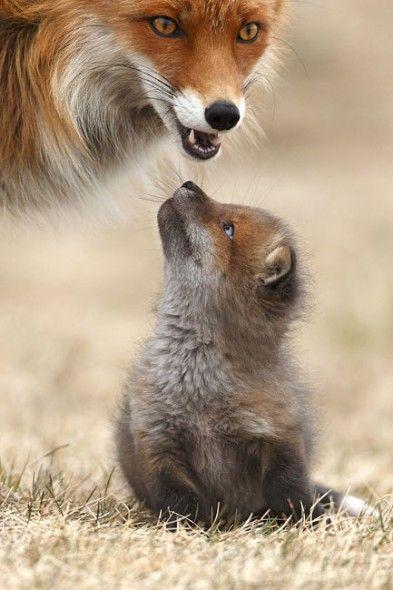 Eine Fähe mit ihrem Jungen, der kleine Wicht schaut seine Mami herzallerliebst an. Was will er ihr wohl sagen?