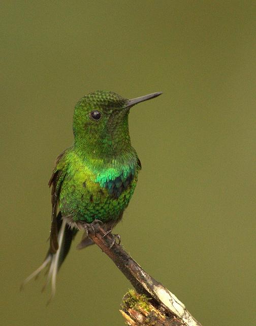 Green Thorntail, Los Bancos, Ecuador, January 2011 by grallaria, via Flickr