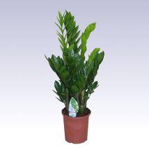 Agglegény virág, Zamioculcas zamiifolia A zámia pálma vagy agglegény virág Kelet-Afrikában őshonos. Alapvetően örökzöld, lágyszárú, de aszályos időszakban visszahúzódik a lombja. Ekkor a gumószerűen megvastagodott gyöktörzsében elraktározott vizet használja fel.