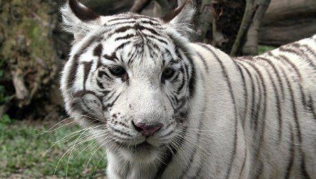 В Волгограде белые тигры напали на работника цирка