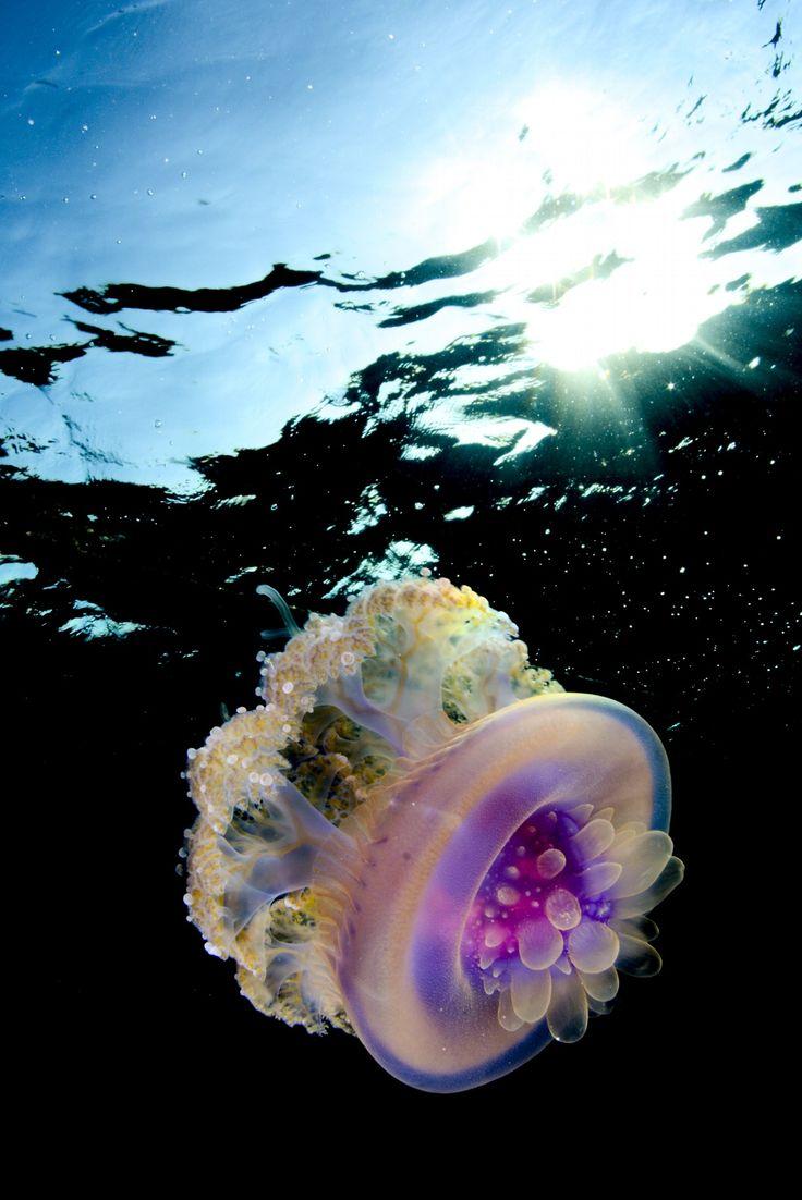 nomeous fish and man war jellyfish symbiotic relationship