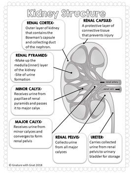 Urinary System Illustrated Guided Notes - Diagrams - Kidney, Nephron