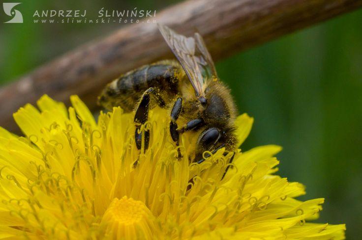 Bee collecting pollen.  #macrophotography