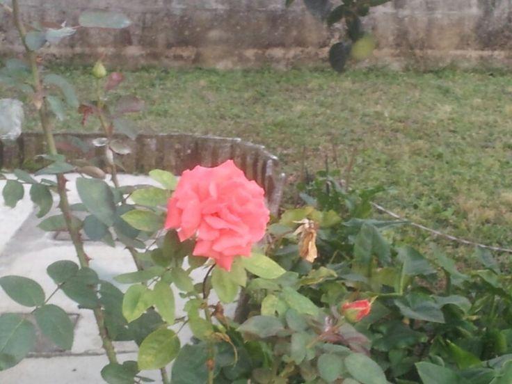Rosa color corallo