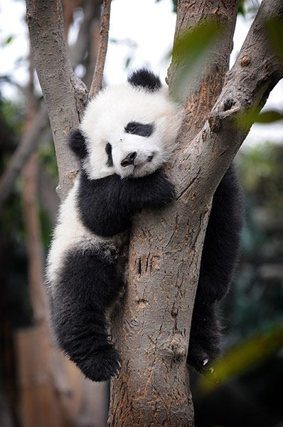 Pandas: A baby panda sleep in a tree