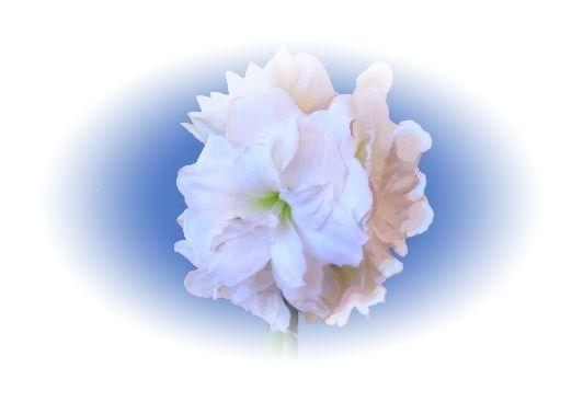 Amaryllis yhdellätoista kukalla.