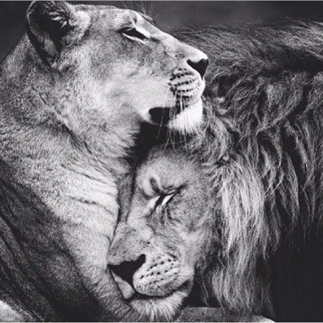 male and female lion love - Google Search