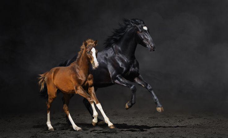 Обои на рабочий стол Животные:Конь, Пара, Жеребенок, Пыль, Бег, Лошадь - скачать бесплатно. | Обои-на-стол.com