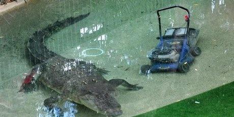 Elvis the Crocodile eats a lawnmower!