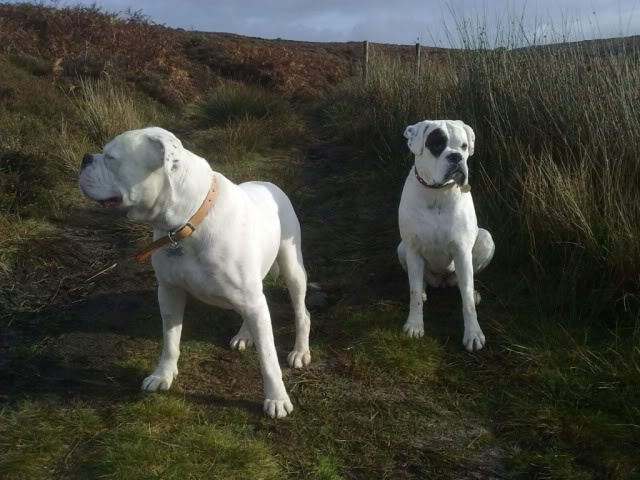 Happy Endings 2011 - Boxer Dog Rescue Northern England