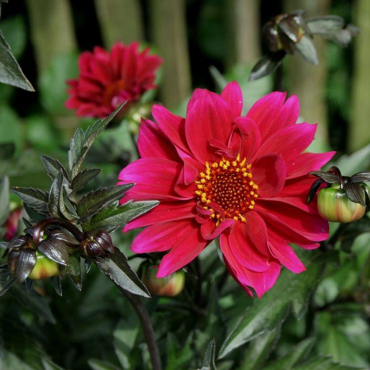 Duke of Canterbury Pioenbloemige Groep, halfgevulde bloem met kransen lintbloemen rondom open centrum (cica 9 cm), zeer donkerbladig, goed doorlatende niet te droge voedzame grond, zeer rijk- en langbloeiend, uitgebloeide bloemen verwijderen, knol vorstvrij in donker overwinteren, vlinder- en insectenplant, oorspronkelijk afkomstig uit Mexico en Midden-Amerika