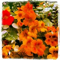 Nasturtiums wake up a tired garden!