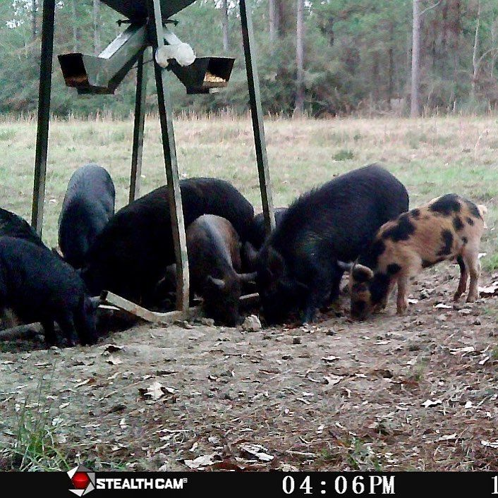 Ready to get back on some of these hogs. #hog #hunting #texas #bacon #boar #feral #wild #trap #gamecam #trailcam #pig #javali #venado #jabali #caza #chasse #bangstick #ar #ak #gamecamera #cameratrap #sow #hunt #hoghunting #ar15 #ak47 #arpistol #ar15pistol http://riflescopescenter.com/nikon-monarch-review/