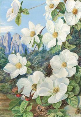 Foliage and Flowers of the Californian Dogwood, and Humming Birds. Botanical Print, by Marianne North