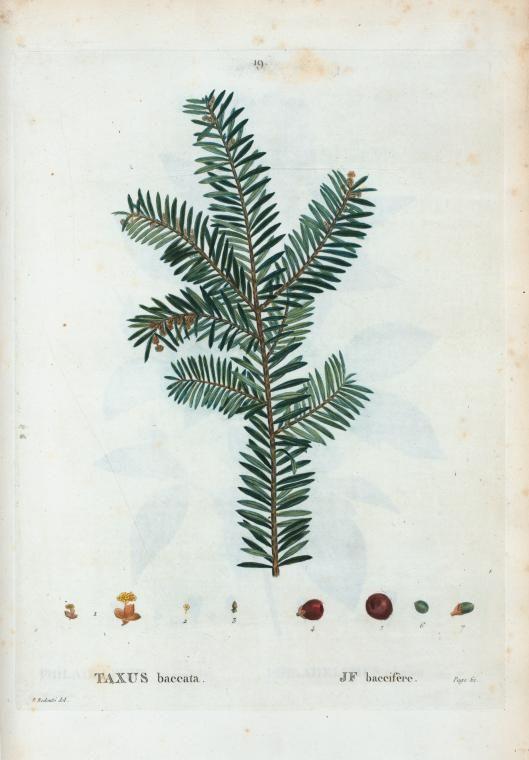 taxus baccata - pierre joseph redouté (1759 - 1840)