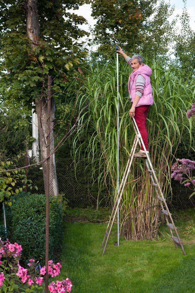 МИСКАНТУС ГИГАНСКИЙ 3,3 М Декоративные травы в моем саду: 9 вопросов и 9 ответов | Зелёная стрела