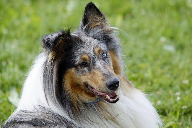 Rodzaje sierści u psów