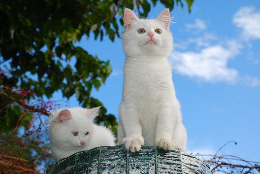 Skąd się biorą białe koty?