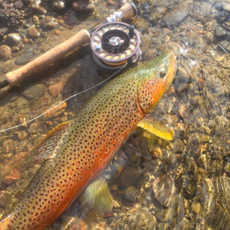 590 best trout images on Pinterest | Fishing, Fishing stuff and ...
