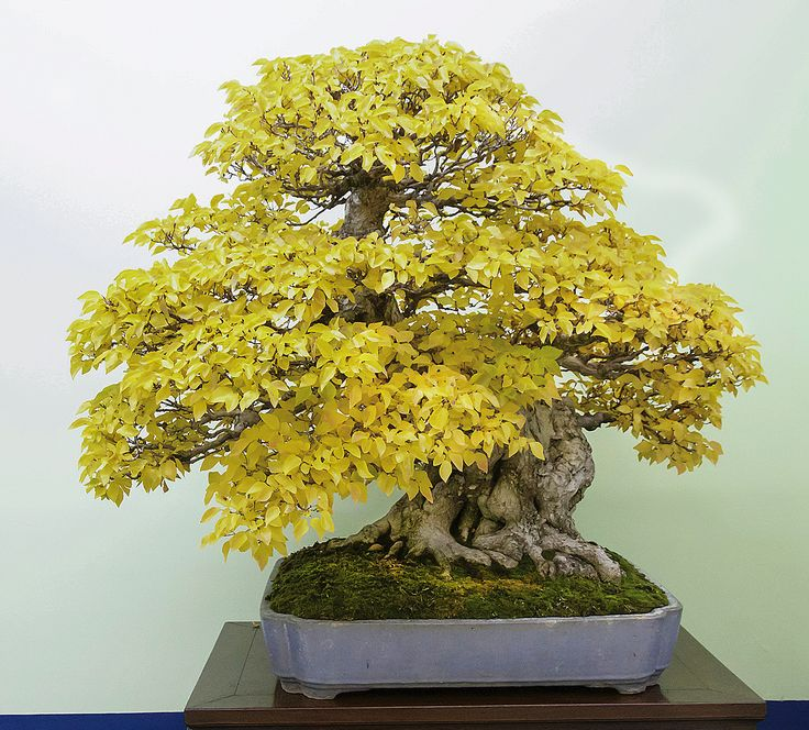 Thought differently, Coral bark japanese maple bonsai