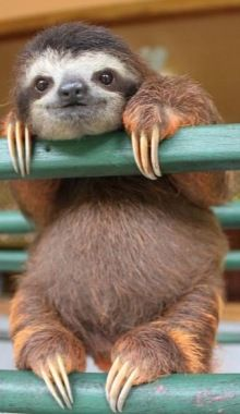 Baby Sloth At The Costa Rican Sloth Sanctuary By Zap.