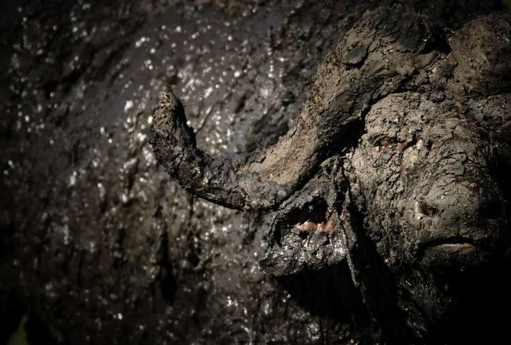 Buffalo Mud Bath. An African Buffalo full of mud late in the afternoon in the Masai Mara, Kenya. A d... - Chris Schmid / 2016 National Geographic Nature Photographer of the Year