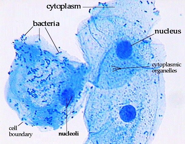 Epithelial cells stained with methylene blue labeled for Methylene blue for fish