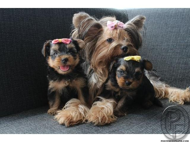 Yorkshire Terrier Dog Information Get It From Pet Destination 9699999338 In Mumbai Maharashtra India In Pet Animals And Accessor Yorkshire Terrier Dog Yorkshire Terrier Pets