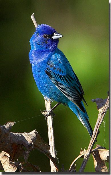 Indigo Bunting, a member of the Cardinal family, a widespread North American. The typically brown males turn into a lovely indigo hue during the breeding season to better attract a mate.