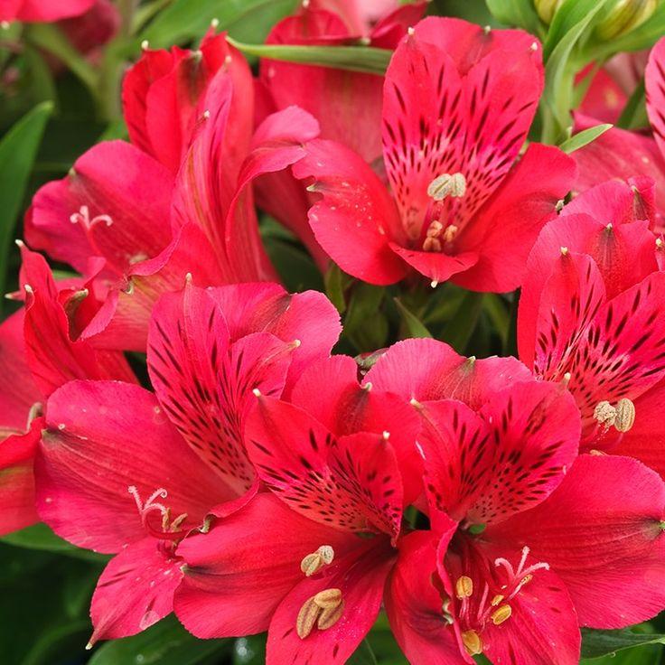 Alstroemeria Inca Bandit - Peruvian lily, Princess lily, Lily of the Incas - Dobbies Garden Centres