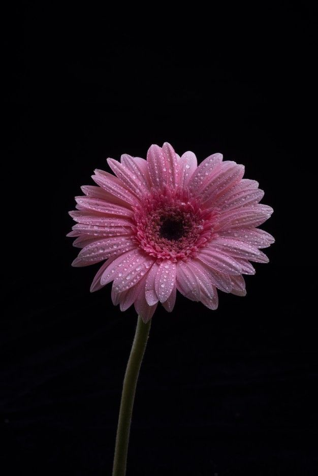 Download Gerbera Flowers Isolated On Black Background For Free Flower Background Iphone Flowers Black Background Pink Flower Photos