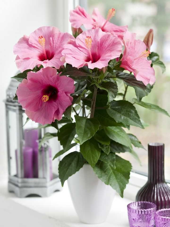 Hibiscus Plant Buy Plants Online India Hibiscus Flower Arrangements
